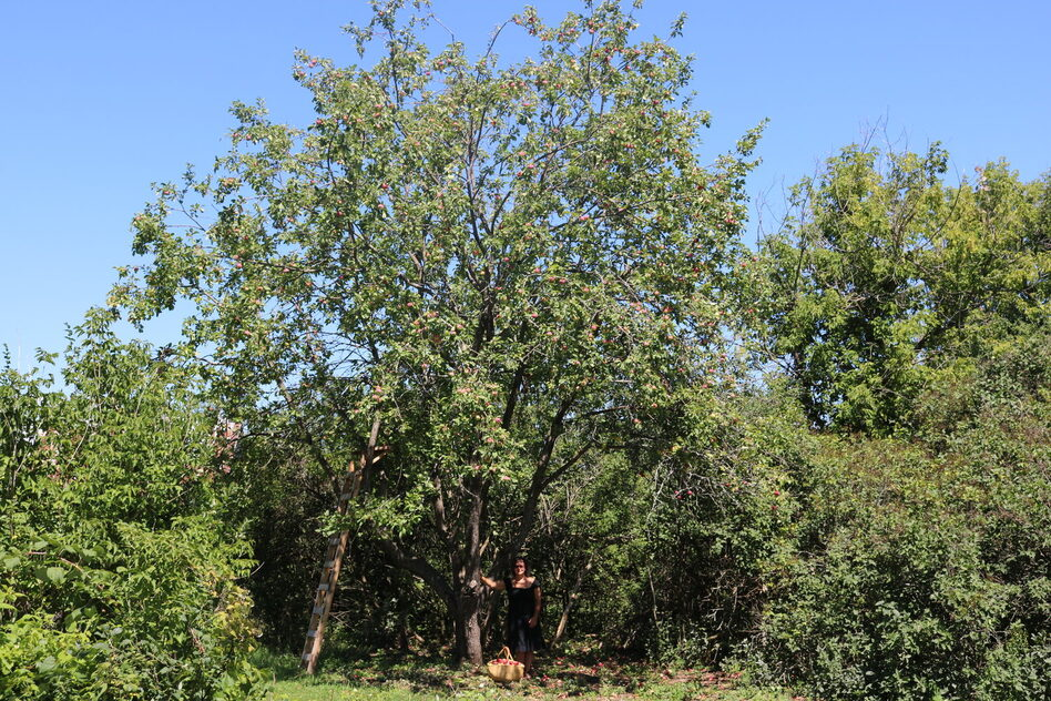 The Empress apple tree believed to be over a century old